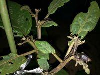 ナスのチャノホコリダニについて ナスの花の色が薄く茎の色も薄くなっていたので肥料不足かと思い追肥をしたのですが改善されず、つい先ほど成長点のあたりを見てみるとくすんだ色で成長が止まっている?ように感じました。 自分としてはチャノホコリダニの仕業かと推測しているのですが、当たっていますか? また、殺虫剤はどのようなものを使えばよいでしょうか。よろしくお願いします。