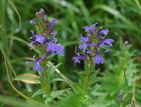 この花は 何という名前ですか  教えてください  八甲田山の 標高1000mの高層湿原に咲いていました