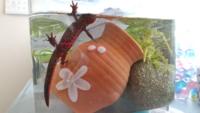 アカハライモリに詳しい方教えて下さい。この画像のアカハライモリは尻尾が細長いのでメスだと勝手に思っていたのですが、どう思いますか?詳しい方教えて下さい。