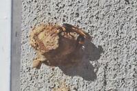 胴が細くて長い蜂のようなものが飛んできて何かをしてます。 巣を作ってるのでしょうか? 調べたらジガバチという蜂ににてるのですが、画像のは目が黄色に見えます。 ジガバチの画像では目が黒いです。 この種類はなんでしょうか?