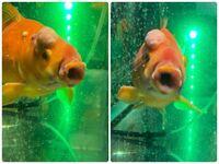 ペットの魚についての質問です 目の上に変な出来物ができていて痛そうで、口もパクパクと閉じたり開けたり出来なくなってしまい食事も出来なくなくなっています。 水槽の掃除も欠かさず行っているし、水温も丁度...