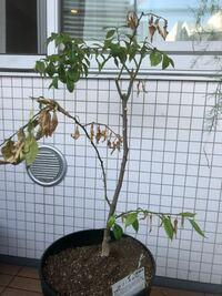 プランター栽培の柚子が元気がないです。 枯れた枝を切ったのですが、写真のようにまた枯れてきています。土の中には害虫はいなそうですが、根腐れでしょうか。真夏ですが植え替えするべきか迷っています。どなたか教えて下さい。