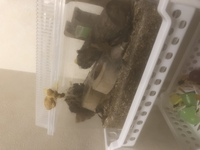 虫かごに突如現れた卵のようなもの  クワガタが6日前に死んでしまい、何もいない状態の虫かごを放置していたのですが いつの間にかこんなものが虫かごについていました。 中に入っている、ク ワガタ用の丸太?...