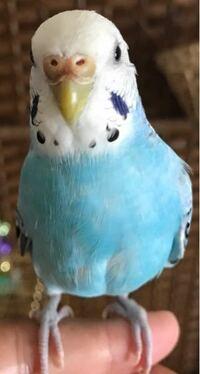こんにちは! 最近飼っているセキセイインコの鼻が急に薄い青から茶色っぽくなってきたのですが、これはなにか病気のサインだったりしますでしょうか? 他に気になる症状はないのですが…