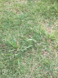 芝生に生えたオヒシバかメヒシバの雑草が根から抜けません。知恵袋で教わった除草フォークを使いましたが、手で抜いた方が早いです。ですが、いっぱい生えていますので大変です。シバゲン除草剤を使いましたが、その 雑草だけ枯れません。根から抜く方法か、良い除草剤があったら教えて下さい。