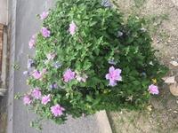この低木の名前を教えて下さい。 南向きの日当たりの良い場所に植えてあります。