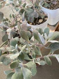 この植物の名前わかりますか? 白い粉が葉の表面についています。