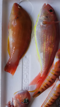 イトヨリの隣の赤い魚の名前なんでしょうか? アマダイ釣ってて釣れました。 お刺身で食べましたが美味しかったです。