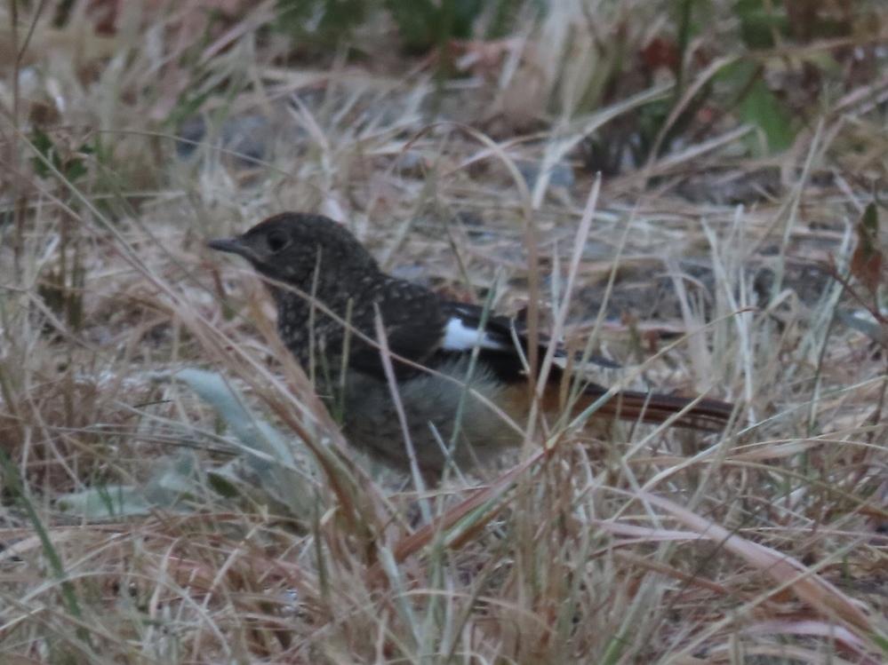 お礼は100コインです この鳥はなんですか 西日本の山にいた鳥です
