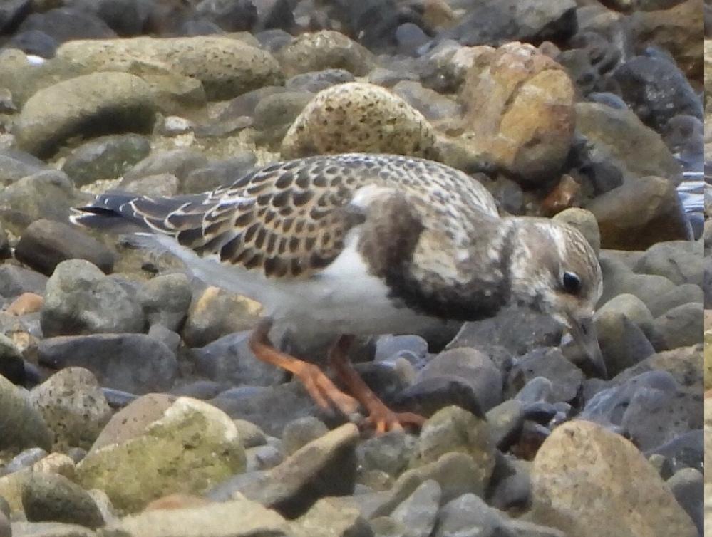 この野鳥の名前を教えてください 2020.08.29 青森市 海岸
