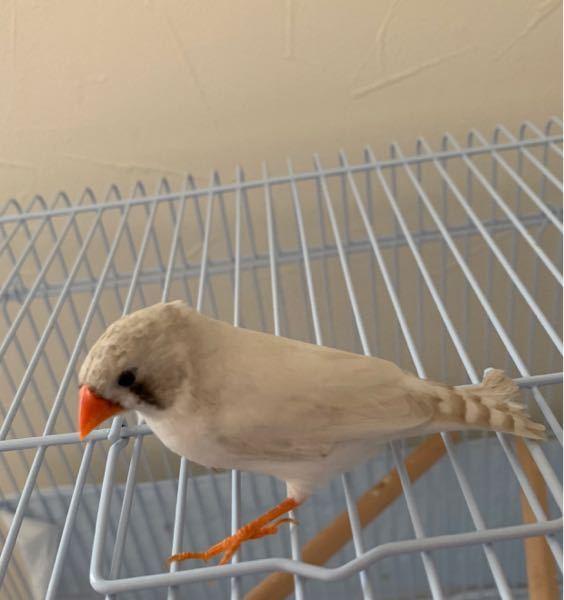この金華鳥の性別分かりますか?生後4ヶ月ほどです。