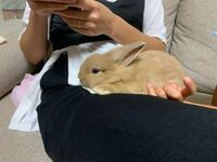 ウサギが迷い込んできて、保護してるのですが、飼い主探すのにポスターを作成してるのですが、この写真のウサギちゃんは、ネザーランドドワーフっぽいでしょうか?それともミニウサギでしょうか?判別出来ますか...