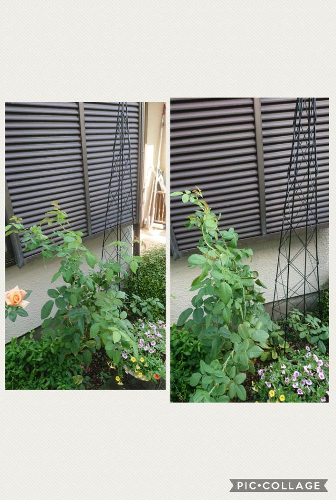 写メは今朝撮ったガートルードジェキルです。 今年の春に大苗で購入し開花した花を1回だけ摘花しました。 脇芽が伸びて今、120cmくらいでしょうか。 最初、写メに写っている雨戸袋の前にトレリスで...