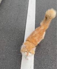 この猫ちゃんの種類を教えてください。長毛種の雑種でしょうか...? 足は普通の猫よりも少し短く、尻尾は太くてふさふさしています。