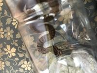 北海道十勝方面で蛇を捕まえました。 これはアオダイショウの子供ですか? マムシでしょうか?