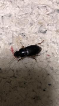 この虫何かわかりますか? 部屋に大量にいます。 対処法もあればお願いします。