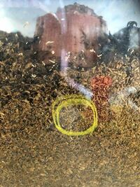 カブトムシ飼育ケースにいるこの虫は、カブトの幼虫ではなく線虫ですよね。 土は7月末頃に用意した市販のもので、今まで見たことなかったのですが今日初めてうごめくものを2匹ほど見ました。 小さいため、写真で分かりづらいですが・・・ 直径1ミリないくらい、長さ5ミリ程です。