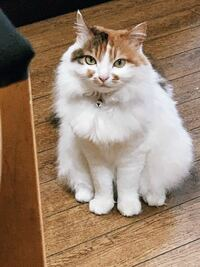 私の飼っている猫は三毛猫です。 三毛猫にしては毛がフサフサなので、 さては、ノルウェージャンフォレストキャットでは ないかと、思いました。 見た限り、何と何の雑種だと思いますか?