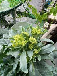 ベランダのプランターで初めてブロッコリーを栽培中の園芸ビギナーです。 5月にホームセンターで苗を購入、植え付け。品種はわかりません。 現在、写真の状況なのですが、収穫はまだまだ先になのでしょうか?こ...