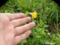 再質問です、 黄色い花の名前を教えてください 岐阜県美濃加茂市下米田町農道で、 撮影 20200909