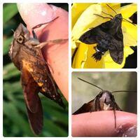 蛾の種類  写真の蛾について 種類が分かる方、ご教示ください。  本日福岡県で撮影したものです。 ホシホウジャクでしょうか。似た別種でしょうか。