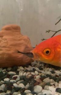 金魚が、小魚を食べてしまいました! この金魚、このままで大丈夫でしょうか…