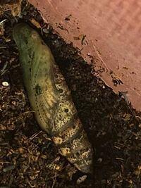 セスジスズメの幼虫を飼育していたら、腐葉土の中でサナギになっていました。 何日くらいで羽化しますか?