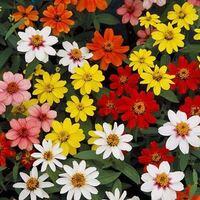 このお花は百日草(ジニア)で合ってますか??