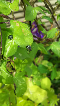 朝顔についている虫ですが、何て言う虫ですか?害虫だと困るので見つけ次第スコップですくって殺してますが、それよりもいい処理方法を教えてください。