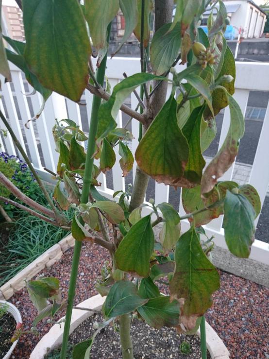 ハナミズキなのですが、8月中頃から葉が枯れ始めて居るのですが病気でしょうか? 雨の日以外は毎日水やりしています。 街路樹のハナミズキも葉が枯れていたので、こんなものなのかな?と思っていたのです...