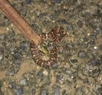 飼い猫が蛇に噛まれました。 この蛇はなんという蛇でしょうか??(鮮明でなくて申し訳ありません)尻尾から音を出していました。 また前足を噛まれたようで腫れているのですが、病院に連れて行くべきでしょうか??