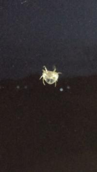 【閲覧注意】この蜘蛛の名前分かる方いますか?珍しい形で気になりました。 大きさは1センチくらいでした。  夜に見たので暗い写真で申し訳ありません。