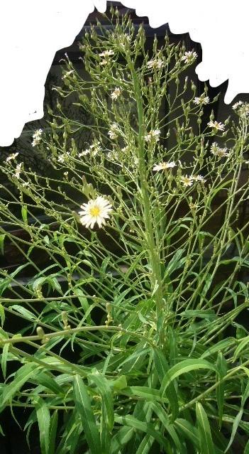 この花、名前は何でしょうか? 庭に生えた雑草ですが、存在感があるので放置してたら花が咲きました。 調べても名前がわかりません。 ご存じの方、教えてください。 背丈は150㎝ほどありかなり大きいです。