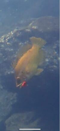 この魚の名前はなんですか? アカイサキに似てると思ったのですがツノが2本明らかにあるため多分違うのかなと、、教えてください!