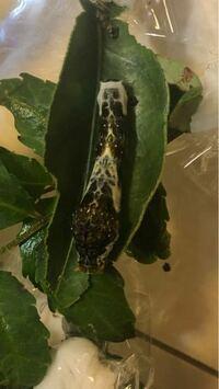 アゲハチョウを飼育しています。 1匹だけナミアゲハの幼虫より大きい幼虫がいました。 せとかについた卵だと思います。  この幼虫はクロアゲハでしょうか?  教えてください。