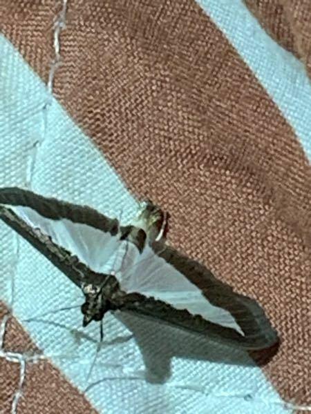 これはなんという蛾ですか?