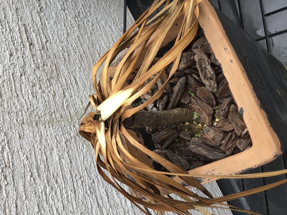 この植物は、何という植物ですか? 貸家に住んでいて持ち主の方が購入した観葉植物なんですが 夏までは元気でしたが、今は枯れてしまったのでしょうか? ご存知の方教えてください。