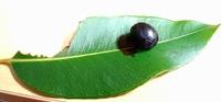 沖縄に住んでるものです。 家の近くにできた果実と葉っぱです。 これはブルーベリーでしょうか?オリーブでしょうか?他にベリー系の果実でしょうか?