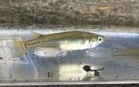 池からメダカを獲って飼っていましたが、オスメスを確認しようとヒレを良く見ていると、どうやらほとんどがカダヤシだったみたいでした。 念のためこの個体はメダカで間違いないでしょうか?