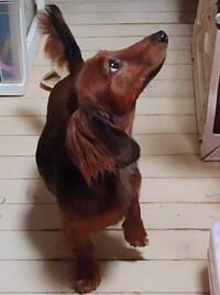 我が家の愛犬。ミニチュアダックス(女の子)です  毛色は何色に見えますか?