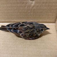 鳥に詳しい方、この鳥の名前教えてもらえないでしょうか?昨日(9/22)敷地内(北海道)で見つけました。