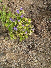 このお花は、お茶花として購入し、植えたのですが、名前が分からなくなってしまいました。 ご存知の方、教えていただけましたら、ありがたいです。 よろしくお願いいたします。