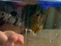 カエルに詳しい方教えて頂きたいです このカエルは何ガエルなんでしょうか