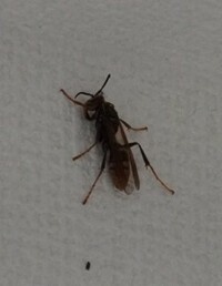 この虫は何という虫ですか? 家の中にこんな虫がいたのですが、スズメバチでしょうか? 3cmくらいありそうです。