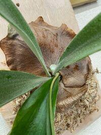 ビカクシダのこの新芽は貯水葉と胞子葉どちらでしょうか?