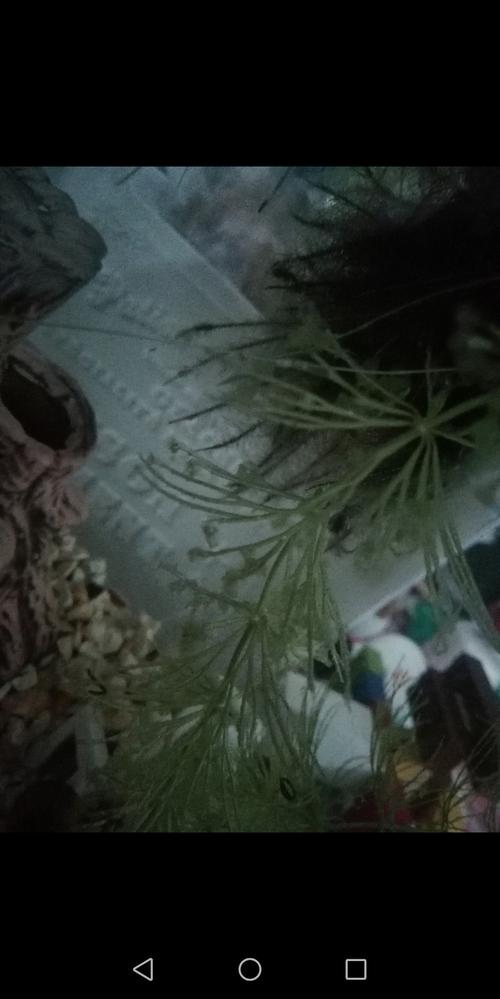 マツモが謎に溶けます。 最初は寒さ?と思ってましたが、あとから入れた水草を入れた水槽だけが溶けました。 ホテイアオイ、フロッグピッド、赤浮草、いちょう浮草、などなど、一般的な浮草だけです。 ...