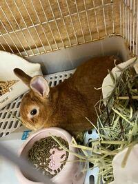 ウサギについて質問です。 この前ホームセンターにいったら2歳になるウサギが売られてました。  懐きますか!?ちなみに現在2ヶ月になるミニウサギも飼ってます。