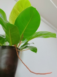 フィロデンドロンについて 観葉植物育てるのが 初心者です、フィロデンドロンを購入したのですが ここから出てる茶色い触覚なのはなんでしょうか?根っこでしょうか?切っていいものなのか.... 暫く調べたのです...