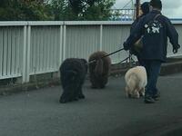 この大型犬の犬種分かります? 走行中とっさに撮ったのでこの情報だけで申し訳ないですが誰か教えてください。