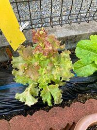 こんにちは! サニーレタスについて教えてください! 2週間前に植えたサニーレタスの苗がすでに花をつけようとしてます。  これは肥料などの失敗ですか?それとも苗がよくありませんでしたか? ちょっと元々上に...